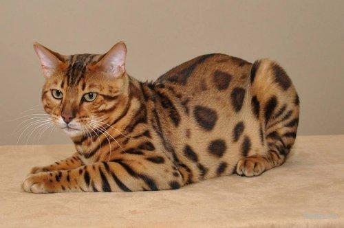 Бенгальская кошка, бенгальская порода кошки
