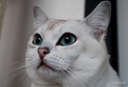 Кошка породы бурмилла