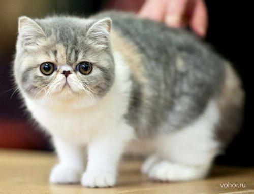 Экзот (экзотическая короткошерстная кошка)