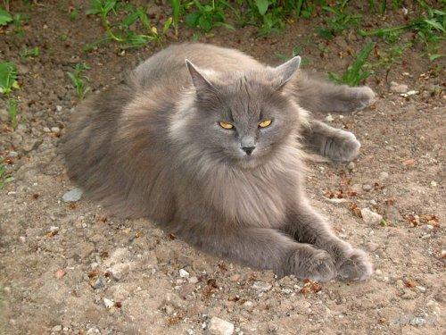 Сибирская кошка: история, описание, характер